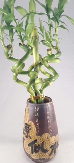 Live Spiral 6 Style Plants Lucky Bamboo Plant Arrangement w/ Ceramic Vase #LuckyBamboo #Custom