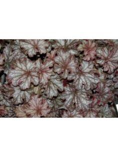 Heuchera 'Blackberry Jam' Garden Shade, Heuchera, Shade Plants, Blackberry, Blackberries, Shadow Plants, Rich Brunette