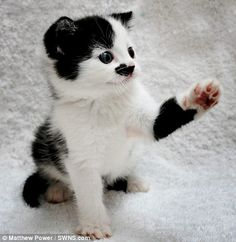 Adolf Kit-ler! The kitten with a Hitler moustache that even gives the Nazi salute