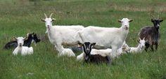 Bouc, chèvre, chevreau