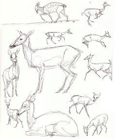 Deer Body Studies by Paso on DeviantArt