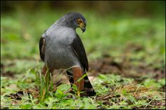 Bicoloured Hawk- ???-wonder what kind it is