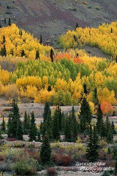 Aspen Grove in Flames, Colorado