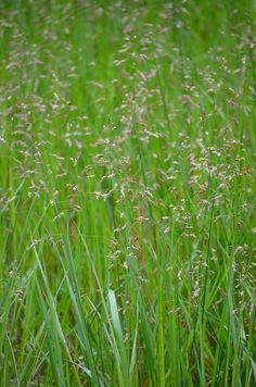 Hierochloe odorata - Sweet Grass: Available at Prairie Moon Nursery
