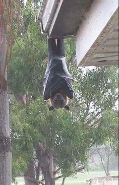 La plus grande chauve-souris au monde. Elle fait 1.6 m ses ailes déployées. Elle fait partie des chauves-souris frugivores.