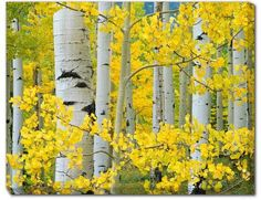 Add color and dimension to an outdoor space with the Aspen Trees All Weather Outdoor Canvas Art. Perfect for a pool, porch, or patio, it has a waterproof lacquer and UV treatment to prevent fading, and mounting hardware to keep it steady. Landscape Photos, Landscape Paintings, Birch Tree Art, Aspen Trees, Wow Art, Watercolor Trees, Mellow Yellow, Art Plastique, Painting Inspiration