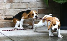 Are you interested in a Beagle? Well, the Beagle is one of the few popular dogs that will adapt much faster to any home. Cute Beagles, Cute Puppies, Cute Dogs, Dogs And Puppies, Doggies, Art Beagle, Beagle Puppy, Dogs Pitbull, Pocket Beagle
