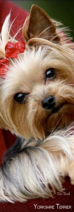 Do you know about Yorkshire Terriers? by L&G PET Photo by Pixabay from Pexels The Yorkshire Terrier originally originate. Yorkies, Yorkie Puppy, Cute Puppies, Cute Dogs, Dogs And Puppies, Yorshire Terrier, Top Dog Breeds, Sweet Dogs, Rottweiler Puppies