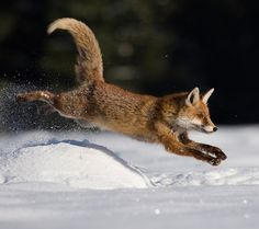 25 Fox Running Photos and Pictures - meowlogy Fantastic Fox, Fabulous Fox, Fox Running, Fennec, Funny Animals, Cute Animals, Running Photos, Foxes Photography, British Wildlife