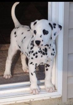 dalmatians on Valentine's | My toy must be out here somewhere...