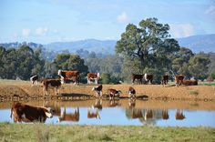 Cows Reflecting