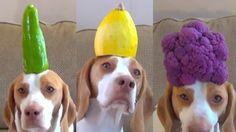 Hund balanciert 100 Obst-und Gemüse-Sorten auf dem Kopf!