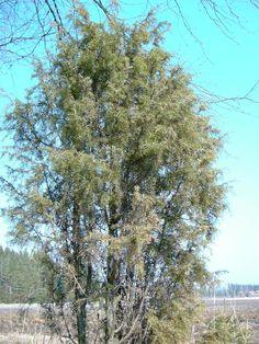 Kataja - Juniperus communis