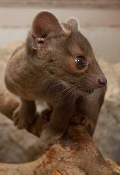Fossa cub. What a sweety.