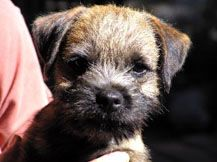 Border Terrier Puppies YOUNG HOPEFULS