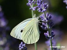 Small White / Lille Kålsommerfugl - Pieris rapae