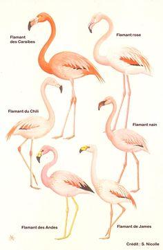 About flamingoes | Tour du Valat Flamingo Facts, Flamingo Craft, Flamingo Bathroom, Beautiful Horses, Beautiful Birds, Flamingo Pictures, Tattoo Bein, Pink Bird, Pretty Birds