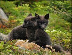 baby fox siblings...
