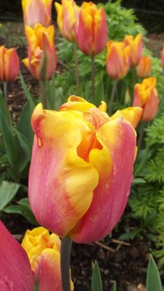 I love the colours of this Tulip - it would brighten up any garden! #tulips #gardening