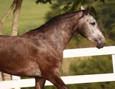 Brincalhona is a sweet, young mare with plenty of energy and a lovely disposition. With a good aptitude for dressage competitions, she will fit well with anyone looking for a loyal and willing mount. She would also be a good choice as a breeding mare to produce sport horses.