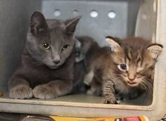 Death Row/Philly ACCTshelter. Foster or Rescue Only STIPPIE & 2 KITTENS (A23582187) This sweet and loving mom's kittens have a cold. She's an adult Russian Blue, They were found in an abandoned yard. It's good that they are off the dangerous streets, but staff noted her babies were coming down with a cold & had some crusty eyes. These poor little ones won't last long in the stressful shelter, & need immediate adoption, rescue or foster.  call 267-385-3800/email lifesaving@acctphilly.org