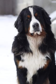 Bernese Mountain, Mountain Dogs, Animals Beautiful, Cute Animals, Entlebucher, Raining Cats And Dogs, English Bull Terriers, Veterinarians, Sphynx