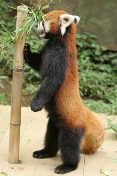Cute Red Panda showing off different foraging postures. Always good to have your animals stretch and work to forage