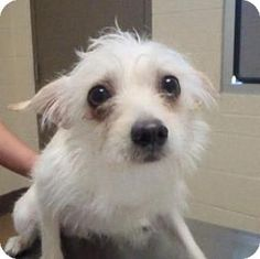 Teddy #137894's Story... Found on Visalia X Sutter in Lucerne Valley today 10/07/14 Turned in: Turned in as a stray Available: Avail;able for adoption on 10/11/14 ID#: (#137894) ALT ID# 10-07-14-59 Vaccination: Bordatella 10/*07/14 Age: App. 1 yr Weight: 9.1 lbs