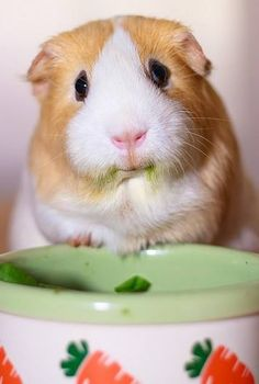 Why u no leave sum soup for me? I had to lick da bowl. Mai tummy still make da rumbly sound. Cute Guinea Pigs, Guinea Pig Care, Hamsters, Rodents, Animals And Pets, Funny Animals, Cute Animals, Amazing Animal Pictures, Guniea Pig