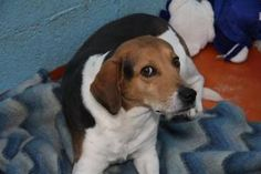 TONKA RAE is an adoptable Beagle Dog in Prestonsburg, KY.  Tonka Rae is a 1 year old female Beagle who doesn't seem to like the camera flashing in her face. Despite that, she is a wonderful dog and wi...
