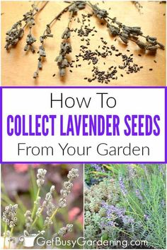 If you want to learn how to harvest lavender seeds, you are in the right place. By gathering the seeds from these fragrant purple flowers, you can increase the number of plants in your own yard, or give personal gifts without ever going to the garden center. Learn how to tell when lavender seeds are ready to harvest, how to collect them, and how to dry and store them. Pick up all the tips on what needs to happen so that they will germinate successfully. Lavender Seeds, Growing Lavender, Lavender Plants, Growing Seeds, Growing Plants, Growing Vegetables, Water Plants, Water Garden, Garden Plants