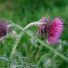 ciulin Beauty Skin, Herbalism, Dandelion, Herbs, Skin Care, Health, Flowers, Desserts, Plants