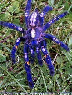This is called the Gooty Sapphire Ornamental Tree Spider (Poecilotheria metallica) and even its name is all fancy. They're insanely rare, too, only being found in a single location which is severely fragmented. The extent of occurrence is less than 100 km2. Habitat: Southeastern India and Sri Lanka Status: Critically Endangered