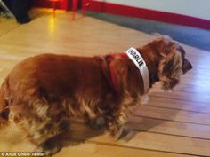 """""""Mascot: As Charlie Hebdo's 'house' dog, Lila the Cocker Spaniel was in the office when the killings began. Ms Vinson told Le Monde she could remember the pattering of Lila's paws as she moved between the bodies"""""""