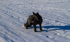 Лисица Иблис. гуляет по льду в Строгино. Iblis fox (vk.com/petsfox)
