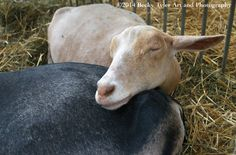 Sleeping Dairy Goats  Fine Art Photo Print by BeckyTylerArt
