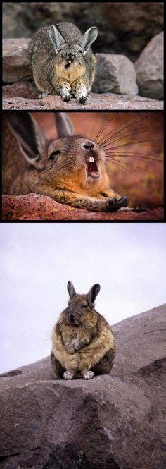 Viscacha; NOT a rabbit