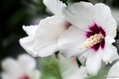 ムクゲ 朝露に濡れた白い花