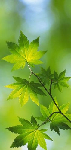 (Are these maple leaves? Green Trees, Green Leaves, Plant Leaves, Maple Leaves, World Of Color, Color Of Life, Go Green, Green Colors, Green Nature