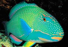 Rainbow Parrotfish (relatively rare, habitat loss and over fishing threaten it, believed to be vulnerable on the conservation scale)