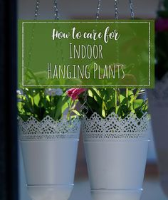Hanging plants are beautiful and are a great way to decorate, add greenery to a room and clean the air. But, they need special care to thrive and continue to beautify your home. Flowerups.com How to care for indoor hanging …