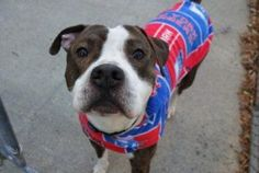 🇺🇸💔☠ KILLED BY RISA WEINSTOCK , DIRECTOR OF NYC ACC&C ☠💔🇺🇸 LACKS COMPASSION & EMPATHY & HUMANITY .💀💀💀🐾🐾💀💀💀 My name is HENRY. My Animal ID # is A1098991. I am a male br brindle and white am pit bull ter and amer bulldog mix. The shelter thinks I am about 1 YEAR 6 MONTHS old.  I came in the shelter as a STRAY on 12/07/2016 from NY 10456, owner surrender reason stated was STRAY.