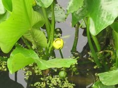 Kenilworth Aquatic Gardens, huge & lovely.  Gorgeous in any season.  July is the top month for the 1000s of water lilies & lotus; some species are older than North America!