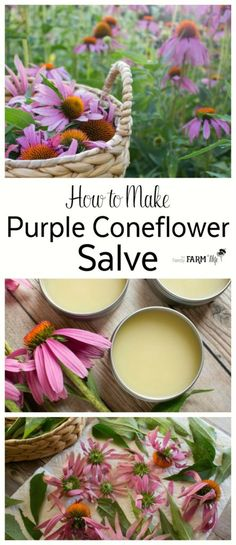 Herbal Medicine - The oil and salve made from the leaves and flowers of purple coneflower (Echinacea pupurea) is super simple to make and useful to keep on hand for treating wounds, stings, bug bites and chapped irritated skin.