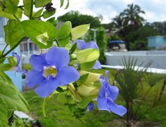 Daily Photo – August 3, 2016 Thunbergia flowers at Cap'n Sam's – Green Turtle Cay, Abaco, Bahamas.