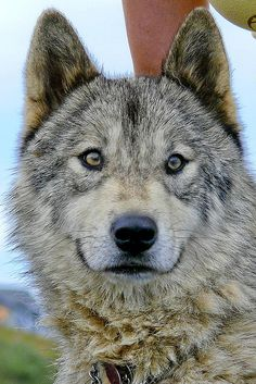 Beautiful wolf dog. Id love to have one, but some states require you to keep it in a kennel for safety. But they are so beautiful. ♡