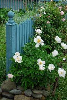 Pretty blue fence (the lovely peonies don't hurt either).