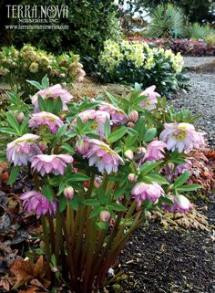 Helleborus Winter Jewels™ 'Peppermint Ice' - These large, double, pink picotees are so sweet! Flowers are a fluffy, light pink with a rim of darker pink edging. Dark pink on the back of the tepals adds to the appeal. One of the world's top hybridizers, Marietta O'Byrne has created this wonderful Winter Jewels™ Strain. A delight in the winter garden. Shade tolerant and deer resistant!