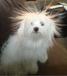 This poor dog has had the instant bad hair day... my bet, it's friction from a balloon! #janinejansen #animals #hairstyles #cute
