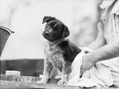 1943 - The mascot of a cookhouse at the 9th Australian division, a puppy dog, being dried after his bath, in preparation for the visit of general Douglas Macarthur, Commander in Chief, Allied Land Forces, South West Pacific Area.